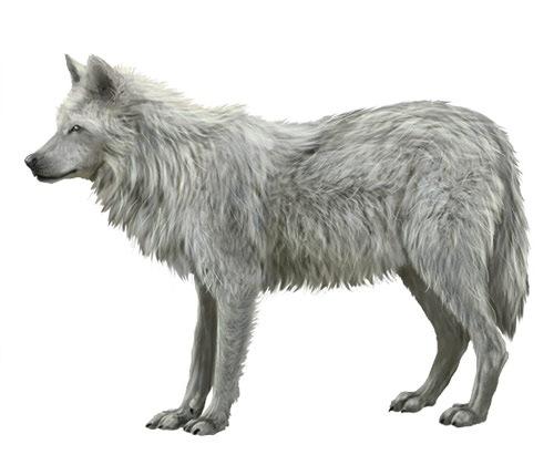 wolfillustration